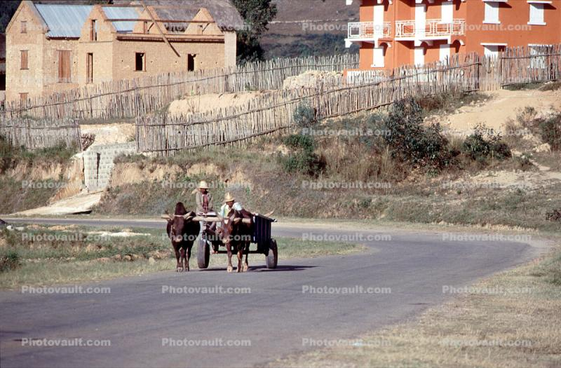 Oxen, Ox, Cattle, buildings, road, homes, houses