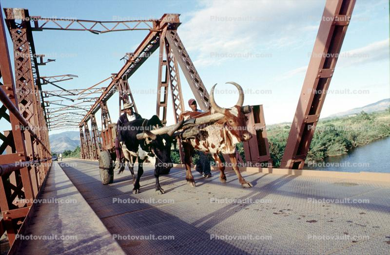 Oxen, Ox, Cattle, Horns, bridge in disrepair, dangerous, river