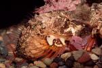 Woolly Sculpin, (Clinocottus analis)