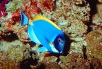 Regal Tang, Palette Tang, (Paracanthurus hepatus), Perciformes, Acanthuridae, Dory, AAAV02P03_15.1707