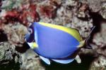 Regal Tang, Palette Tang, (Paracanthurus hepatus), Perciformes, Acanthuridae, Dory, AAAV02P03_16