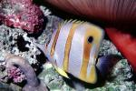 Long Nosed Butterflyfish, (Chetodon kleini), (Orange Butterflyfish), eyes, AAAV02P03_19