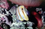 Long Nosed Butterflyfish, (Chetodon kleini), (Orange Butterflyfish), eyes, AAAV02P04_01