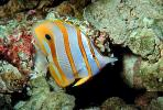 Long Nosed Butterflyfish, (Chetodon kleini), (Orange Butterflyfish), eyes, AAAV02P04_02.1707
