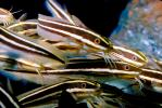 Striped Eel catfish, (Plotosus lineatus), Siluriformes, Plotosidae, toxic, toxins, AAAV02P07_05.2563