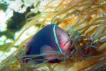 Pink Skunk Anemonefish, (Amphiprion perideraion), Pomacentridae, Clownfish, Anemone