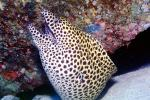 moray eel, Maldives