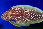 Marine Betta Grouper, (Calloplesiops altivelis), Perciformes, Plesiopidae, eyes, AAAV05P13_07