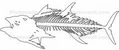 Tuna Skeleton outline, line drawing, AAAV07P03_15BO