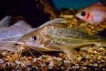 Pictus Catfish, (Pimelodus pictus), Siluriformes, Pimelodidae, Polka-dot Catfish, AABV02P01_05.2563