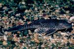 Plecostomus, Sucker-mouth Catfish, (Hypostomus plecostomus), Siluriformes, Loricariidae, armored catfish family , AABV02P01_16