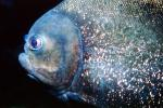 Red Bellied Piranha, (Pygocentrus nattereri), Charican, Characidae, Characin, Characiformes, AABV03P11_19