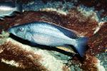 Eye-Biter, (Dimidiochromis compressiceps), [Cichlidae], Cichlid, Eyebiter, Perciformes, Lake Malawi, Africa, African, AABV04P01_04