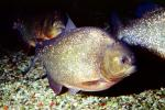 Red Bellied Piranha, (Pygocentrus nattereri), Charican, Characidae, Characin, Characiformes, AABV04P01_15