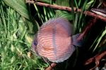 Discus Fish, (Symphysodon discus), Cichlid, Cichlidae, Perciformes, Brazil, Heroini , AABV04P14_01