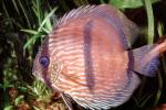 Discus Fish, (Symphysodon discus), Cichlid, Cichlidae, Perciformes, Brazil, Heroini , AABV04P14_02