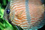 Discus Fish, (Symphysodon discus), Cichlid, Cichlidae, Perciformes, Brazil, Heroini , AABV04P14_03