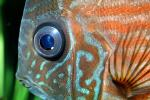 Discus Fish, (Symphysodon discus), Cichlid, Cichlidae, Perciformes, Brazil, Heroini , AABV04P14_04