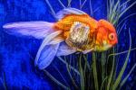 Ranchu Fantail Goldfish, Paintography, AAGD01_071