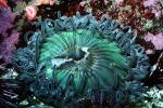 Giant Green Anemone (Anthopleyra  xanihogrammica), AAKV02P03_10