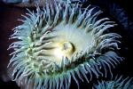 Giant Green Anemone (Anthopleyra  xanihogrammica), AAKV02P05_07
