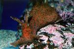 California Sea Hare, slug, (Aplysia californica), Aplysioidea, Aplysiidae, AALV01P03_18