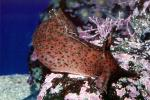 California Sea Hare, slug, (Aplysia californica), Aplysioidea, Aplysiidae, AALV01P03_19