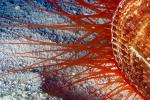 Flame Scallop, rough fileclam, (Lima scabra), Limoida, Limidae, Bysal Threads, Pteriomorphia