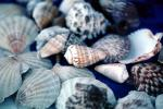 Shells, scallops, texture, background, AAMV01P03_10