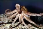 suction cups, tentacles, Two-spotted Octopus, (Octopus bimaculoides), Octopoda, Octopodidae, AANV01P04_09