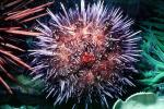 Red Sea Urchin, (Strongylorcentrotus franciscanus), AAOV01P06_08
