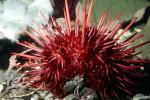 Purple Sea Urchin, AAOV01P08_05