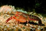 Red Crayfish, AARV01P01_15.1707