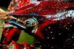 Red Crayfish eye, AARV01P08_18.4097