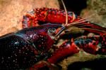 Red Crayfish, AARV01P09_03.4097