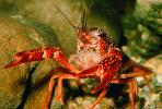 Red Crayfish, AARV01P09_05.2565