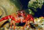 Red Crayfish, AARV01P09_06.1708