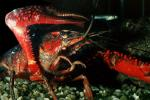 Red Crayfish, AARV01P10_12