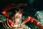 Red Crayfish, AARV01P10_14