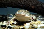 African Clawed Frog, (Xenopus laevis), Pipidae, AATV01P03_04