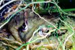 Eyes hidden in the camouflage, African Bull Frog, (Pyxicephalus adspersus), Ranidae, Biomimicry, AATV01P07_16