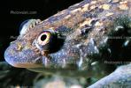 Icon, Iconic, Portfolio, Classic, Eyes, African Clawed Frog, (Xenopus laevis), Pipidae, AATV02P03_19B