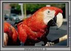 Parrot, Scarlet Macaw, (Ara macao), ABCV01P02_13