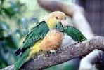 Southern White-bellied Caique, (Pionites leucogaster xanthomera)