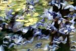 Pigeons, Central Park, New York City, ABDV01P03_01