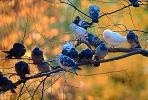 Pigeons, Central Park, Manhattan, autumn, ABDV01P03_05.2565