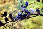 Pigeons, Central Park, Manhattan, autumn, ABDV01P03_05