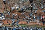 Pigeons, Central Park, Manhattan, autumn, ABDV01P03_15.2565