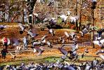 Pigeons, Central Park, Manhattan, autumn, ABDV01P03_15