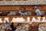 Pigeons on a railroad track, ABDV01P03_17.3339